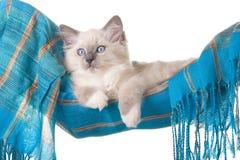 Gatinho bonito de Ragdoll no hammock azul Fotografia de Stock Royalty Free