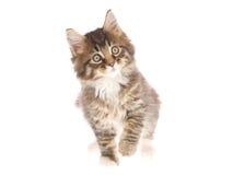 Gatinho bonito do Coon de Maine no fundo branco Fotos de Stock Royalty Free