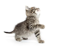 Gatinho bonito do gato malhado Imagens de Stock