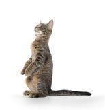 Gatinho bonito do gato malhado nos pés traseiros Imagens de Stock
