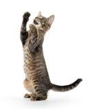 Gatinho bonito do gato malhado nos pés traseiros Imagens de Stock Royalty Free