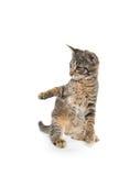 Gatinho bonito do gato malhado nos pés traseiros Imagem de Stock