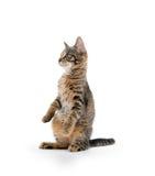 Gatinho bonito do gato malhado nos pés traseiros Imagem de Stock Royalty Free