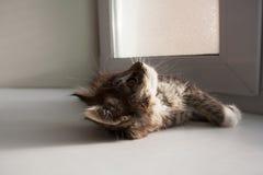 Gatinho bonito do gato malhado que olha acima ao encontrar-se perto da janela foto de stock