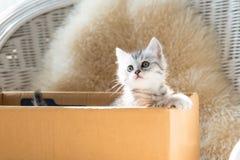 Gatinho bonito do persa do gato malhado fotografia de stock royalty free