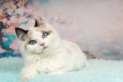 Gatinho bonito do ragdoll no fundo florido Foto de Stock