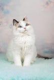 Gatinho bonito do ragdoll no fundo florido Imagem de Stock