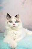 Gatinho bonito do ragdoll no fundo florido Fotografia de Stock Royalty Free