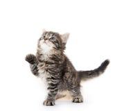 Gatinho bonito do tabby no fundo branco Fotografia de Stock Royalty Free