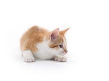 Gatinho bonito no branco Imagem de Stock Royalty Free