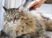 Gatinho bonito no tempo de escovadela, gato siberian do puro-sangue Imagens de Stock Royalty Free