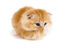 Gatinho bonito que aumenta a pata Fotos de Stock Royalty Free