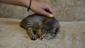 Gatinho bonito que dorme em um sofá Carícia fêmea da mão ele video estoque