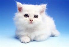 Gatinho branco Fotografia de Stock Royalty Free