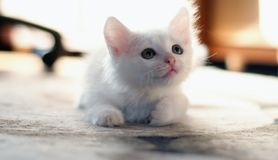 Gatinho branco Imagem de Stock