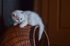 Gatinho branco Imagem de Stock Royalty Free
