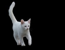 Gatinho branco. Imagens de Stock