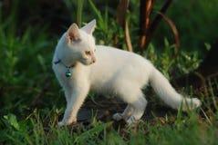 Gatinho branco Foto de Stock Royalty Free