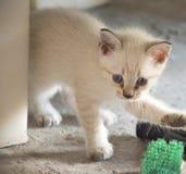 Gatinho branco bonito/gato Fotografia de Stock