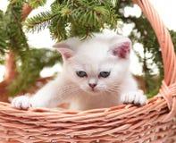 Gatinho branco em uma cesta Imagem de Stock Royalty Free