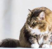 Gatinho branco marrom adorável interno, raça siberian fotografia de stock royalty free