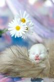 Gatinho branco pequeno com os olhos fechados Fotos de Stock Royalty Free