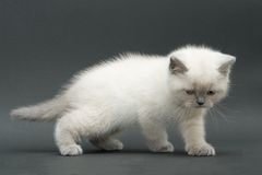 Gatinho britânico bonito agradável Foto de Stock Royalty Free