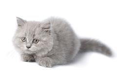 Gatinho britânico bonito isolado Fotos de Stock Royalty Free