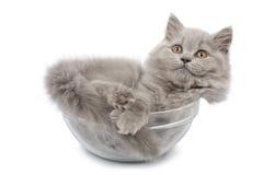 Gatinho britânico bonito na bacia de vidro isolada Imagens de Stock Royalty Free