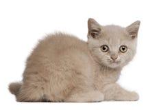 Gatinho britânico de Shorthair, 10 semanas velho, sentando-se Fotografia de Stock