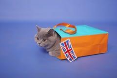 Gatinho britânico de Shorthair Imagens de Stock Royalty Free