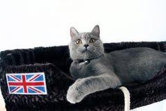 Gatinho britânico de Shorthair Fotografia de Stock Royalty Free