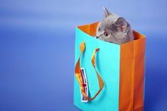 Gatinho britânico de Shorthair Foto de Stock
