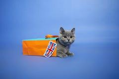 Gatinho britânico de Shorthair Fotos de Stock