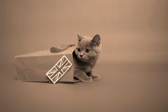Gatinho britânico de Shorthair Imagem de Stock