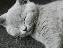 Gatinho britânico de Shorthair Fotografia de Stock