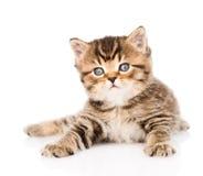 Gatinho britânico do gato malhado do bebê que encontra-se na parte dianteira Isolado Imagem de Stock