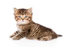Gatinho britânico do gato malhado do bebê que olha a câmera Isolado Fotografia de Stock Royalty Free