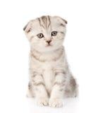Gatinho britânico do gato malhado do bebê que senta-se na parte dianteira Isolado Fotos de Stock Royalty Free