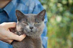 gatinho britânico no braço do menino fora Fotografia de Stock