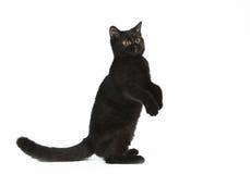 Gatinho britânico preto Fotos de Stock Royalty Free