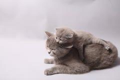 Gatinho britânico de Shorthair Fotos de Stock Royalty Free