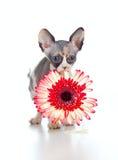 Gatinho canadense do sphynx com a flor em sua boca fotos de stock