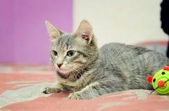 Gatinho cinzento bonito do gato malhado que encontra-se no sofá imagens de stock royalty free