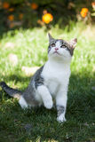 Gatinho cinzento-branco bonito que senta-se na grama Imagens de Stock