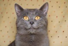Gatinho cinzento com os olhos amarelos grandes Fotografia de Stock