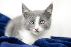 Gatinho cinzento e branco com brinquedo do gato, foto da adoção do abrigo animal fotos de stock royalty free