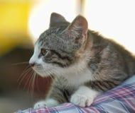 Gatinho cinzento e branco do gato malhado Fotos de Stock