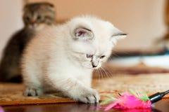 Gatinho cinzento e branco que joga com brinquedo Fotografia de Stock Royalty Free