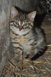Gatinho cinzento pequeno que está no feno, abraçando à parede, olhando a câmera, no campo imagem de stock